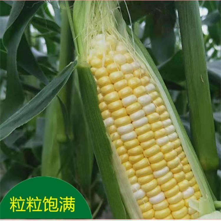 果不让云南水果玉米新鲜现摘玉米棒生吃甜玉米脆笨牛奶爆浆5斤my