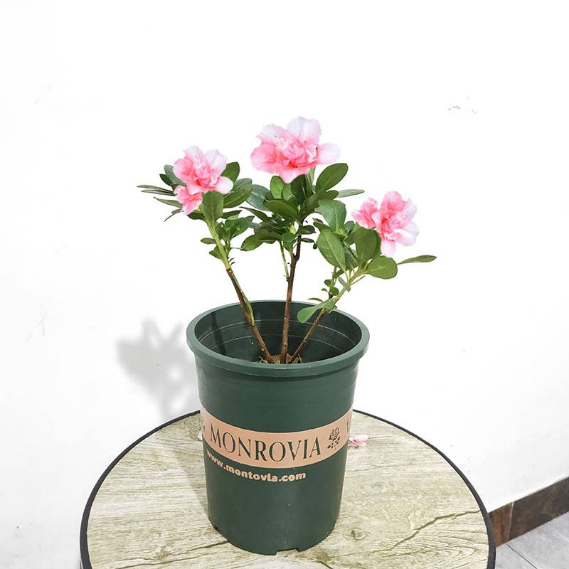 四季开花杜鹃花盆栽花卉去除甲醛办公室盆栽室外盆景耐寒植物绿植