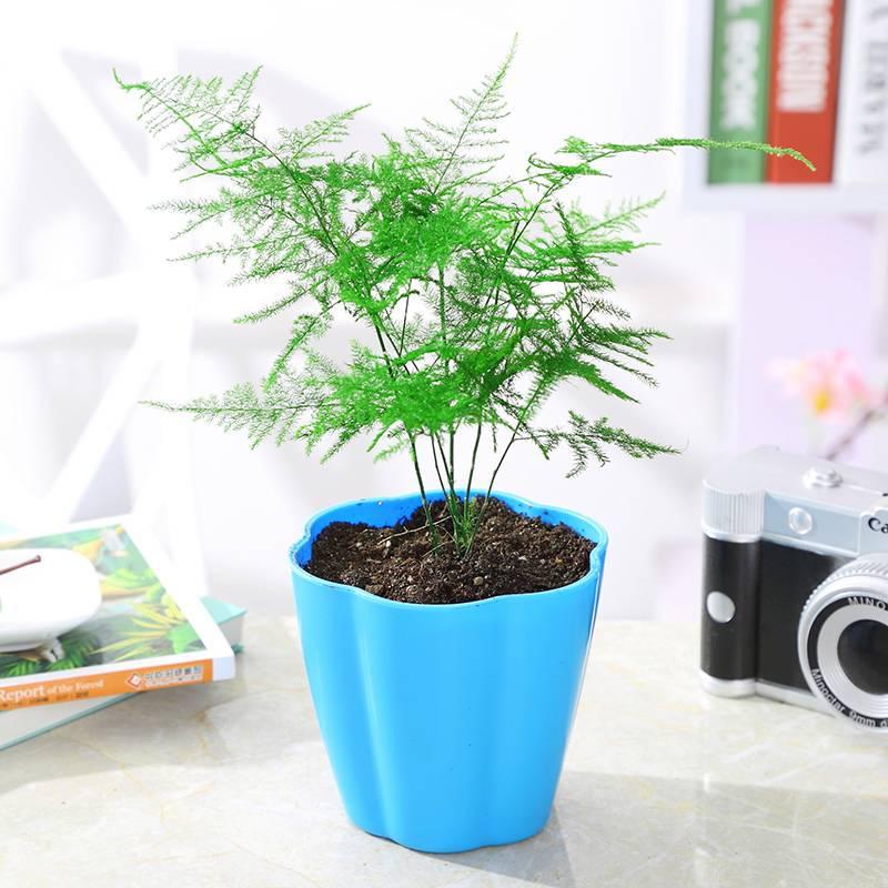 杜鹃花盆栽花卉植物室内观花植物带花常年四季开花不断好养的花苗